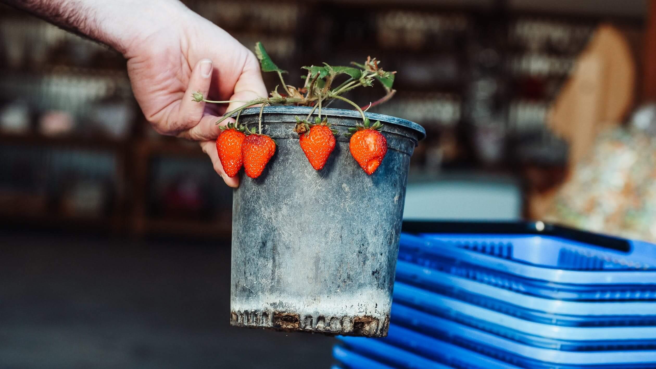 comprar maceteros para fresas