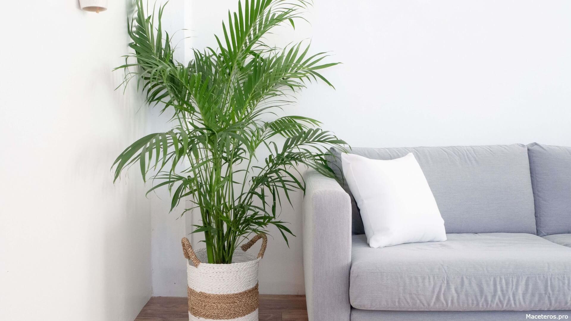 Chamaedorea seifrizii = Palma bambú, Palmera bambú, Palmera Seifriz de bambú