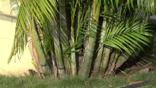 beneficios de las palmeras de bambu